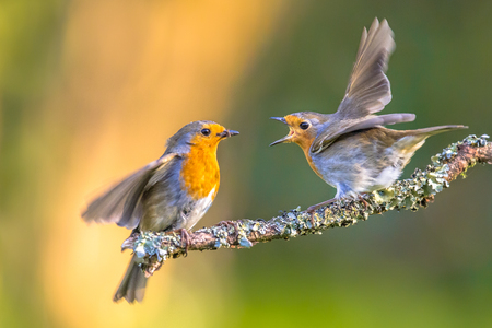 Parent Robin bird (Erithacus Rubecula) feeding grown up juvenile young on branch with moss