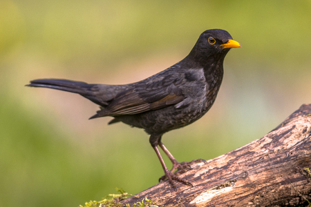 Common Blackbird (Turdus merula) perched on log with bright green background