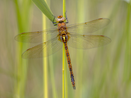 Green-eyed hawker (Aeshna isoceles) resting on green reed stem with blurred background