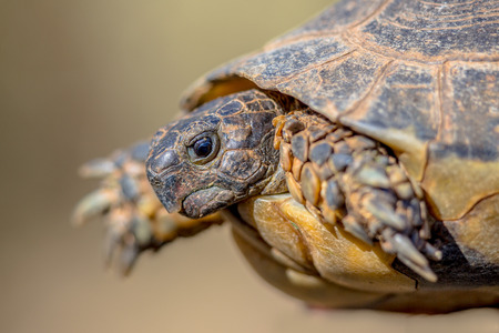 Marginated tortoise (Testudo marginata) close up of head on barren peleponnese countryside, Greece