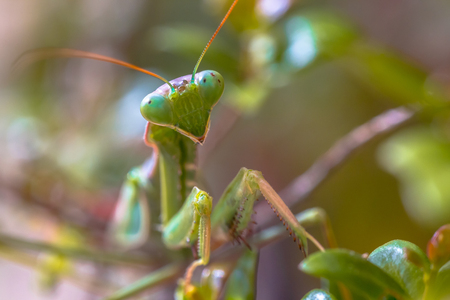 Headshot of European praying mantis (Mantis religiosa) is one of the most well-known and widespread species of the order Mantodea, the Mantises.