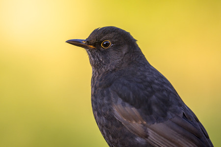Male blackbird (Turdus merula) with bright yellow autumnal colored background