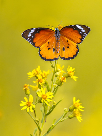 Plain tiger or African monarch butterfly (Danaus chrysippus) perched on yellow flower catching sunlight