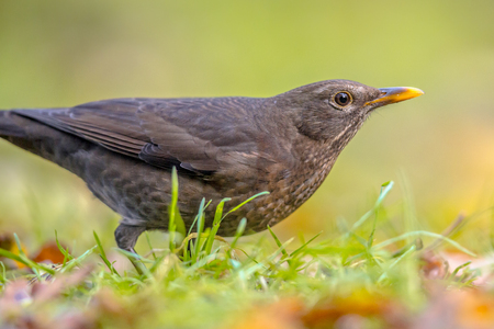 Female blackbird (Turdus merula) about to fly off from grass of backyard lawn