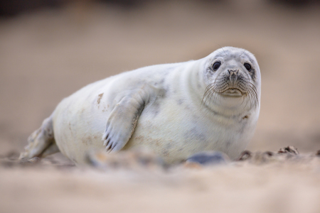Curious harbor seal (Phoca vitulina) looking in camera Stock Photo
