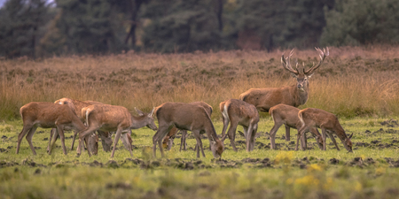 Buck deer male (Cervus elaphus) guarding herd group of female hind animals during mating season at sunset