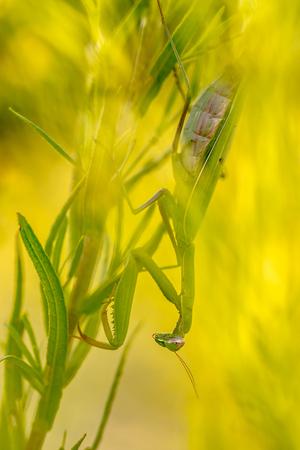 European praying mantis (Mantis religiosa) hiding in plant to ambush other insect prey
