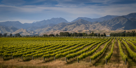 Organic Vineyard overview with mountains in background in Marlborough area new zealand