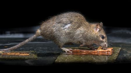 Wilde braune Ratte (Rattus norvegicus), die sich von Steinen im Wasser des Flusses ernährt Standard-Bild