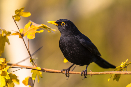Male blackbird (Turdus merula) perched on branch with bright autumnal colored background