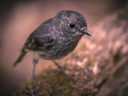 Cute new zealand North Island Robin (Petroica longipes) looking in the camera Stock fotó
