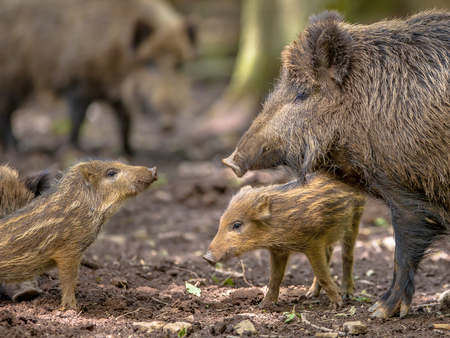 Arguing Family of Wild Boar (Sus scrofa) while taking a mud bath on a clearing in the forest