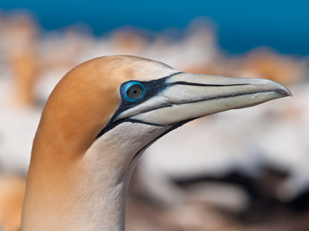 Head shot of Australasian Gannet (Morus bassanus) in breeding colony of Cape Kidnappers, New Zealand Imagens