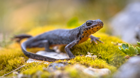Alpine newt (Ichthyosaura alpestris) side view on moss and rocks in natural mountain environment