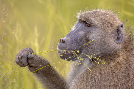 Chacma baboon (Papio ursinus) having breakfast, feeding on cereal seeds of grass in Kruger national park South Africa
