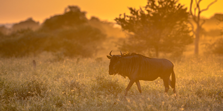 Savanna bush back lit by Orange morning light with Common Blue Wildebeest or Brindled Gnu (Connochaetes taurinus) walking by on famous S100 road in Kruger national park South Africa Imagens