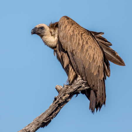 White-backed vulture (Gyps africanus) resting in dead tree in Kruger national park South Africa Stock Photo