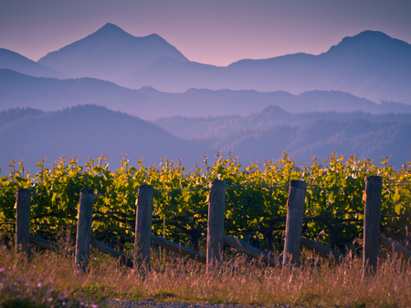 View of vineyard with misty mountains backdrop at sunset Marlborough region New Zealand