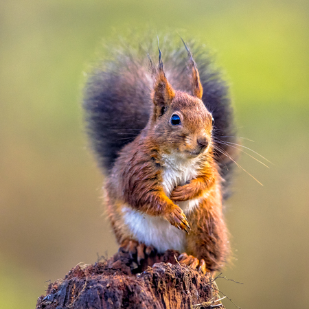 Red squirrel (Sciurus vulgaris) seated on tree trunk while animal is looking curious at camera Stock Photo