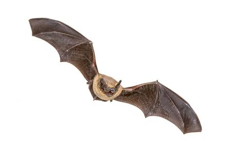 Flying Pipistrelle pipistrello (Pipistrellus pipistrellus) colpo di azione di caccia di animali isolati su sfondo bianco. Questa specie è nota per essere appollaiata e vivere nelle aree urbane in Europa e in Asia. Archivio Fotografico