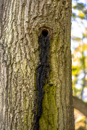 Bat roost colony in tree cavity of old woodpecker nest with typical indicative dung stripe on bark. Inhabited by Noctule bats.