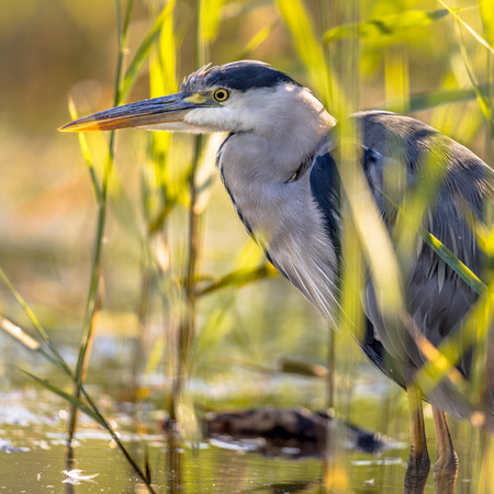 Grey heron (Ardea cinerea) portrait of wading bird looking for food seen through reed of wetland in Flanders Belgium Imagens