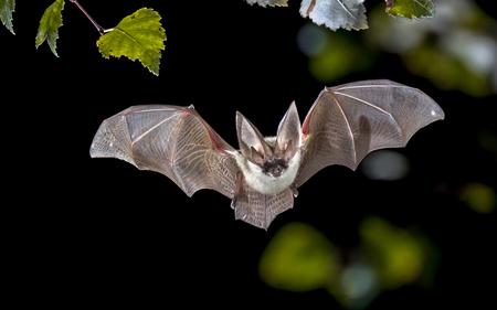Fliegende Fledermausjagd im Wald. Die Graue Langohrfledermaus (Plecotus austriacus) ist eine ziemlich große europäische Fledermaus. Es hat ausgeprägte Ohren, lang und mit einer markanten Falte. Es jagt über Wäldern, oft am Tag, und hauptsächlich auf Motten.