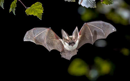 Flying bat hunting in forest. The grey long-eared bat (Plecotus austriacus) is a fairly large European bat. It has distinctive ears, long and with a distinctive fold. It hunts above woodland, often by day, and mostly for moths. Stock Photo
