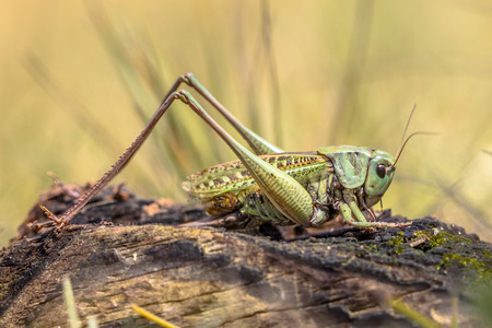 Grasshoper wart-biter (Decticus verrucivorus) is a bush-cricket in the family Tettigoniidae. This large insect species occurs throughout continental Europe