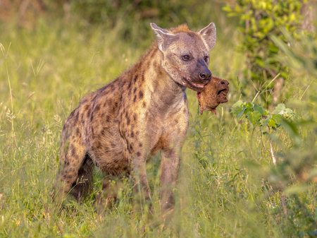Spotted hyena (Crocuta crocuta) scavenger with piece of carcass in mouth in green grass under morning light. Stock Photo - 115936058