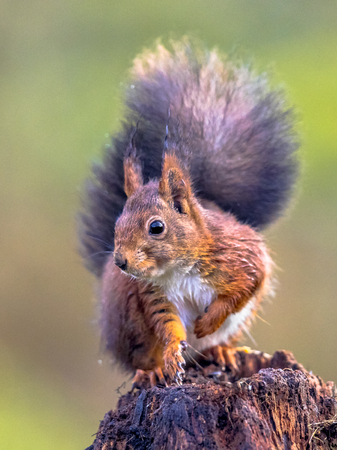 Red squirrel (Sciurus vulgaris) seated on tree trunk while animal is looking attentive at camera