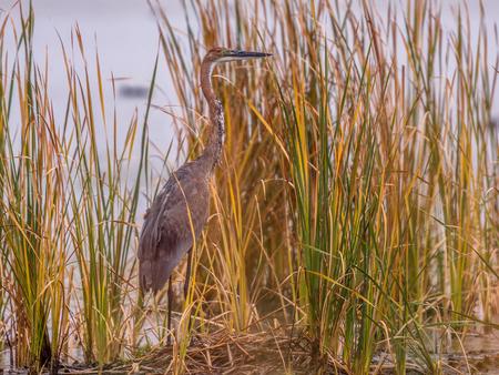 Goliath heron (Ardea goliath) in reed habitat of Marievale sanctuary South Africa