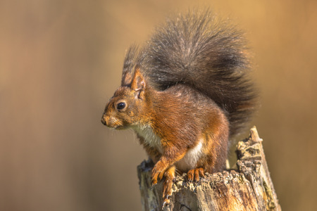 Red squirrel (Sciurus vulgaris) sitting on trunk while animal is looking regardful against bright brown background