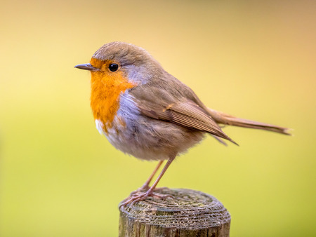 Red Robin (Erithacus rubecula) perched on post with bright colorful background Imagens