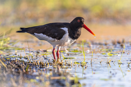 Pied Oystercatcher (Haematopus ostralegus) wading on river bank while looking for food. Drip on beak.