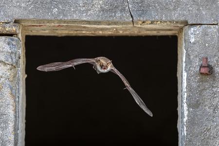 La chauve-souris Natterer (Myotis nattereri) volant à travers la fenêtre du site de repos à l'intérieur de la grange