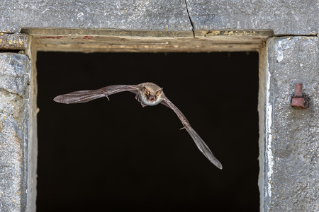 Natterer's bat (Myotis nattereri) flying through window from roost site inside barn Reklamní fotografie