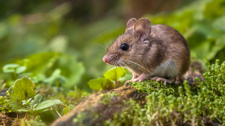 Wild Wood mouse (Apodemus sylvaticus) resting on a log on the forest floor with lush green vegetation