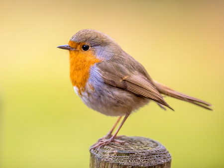 Cute Red Robin (Erithacus rubecula) perched on post with bright colorful background Standard-Bild