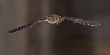 Zwergfledermaus (Pipistrellus pipistrellus) fliegt auf dem Dachboden der Kirche in der Dunkelheit