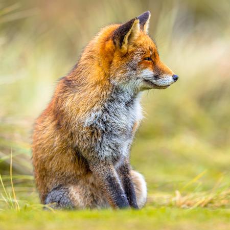 European Fox (Vulpes vulpes) sitting in grass and looking sideways Archivio Fotografico