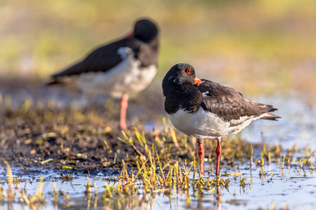 Pied Oystercatcher (Haematopus ostralegus) couple sleeping on river bank while looking alert for danger with one eye open.