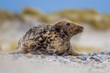 Female Grey seal (Halichoerus grypus) on beach with dunes in background looking to side Imagens