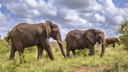 Three African Elephants (Loxodonta africana) walking in savanna of Kruger national park in South Africa Standard-Bild