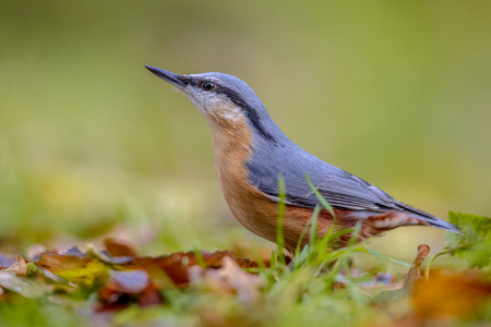 Eurasian Nuthatch (Sitta europaea) on grassy backyard lawn with leaves in autumn colors