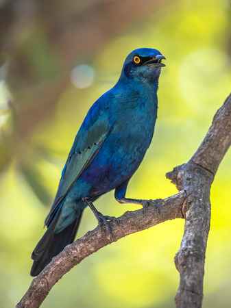 Greater blue-eared Starling (Lamprotornis chalybaeus) bird perched in dhade of tree in Kruger national park South Africa Reklamní fotografie