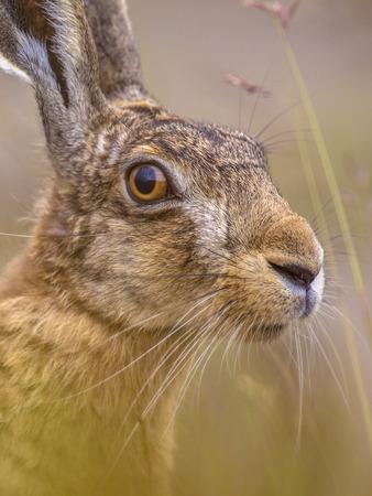 Nahaufnahme Portrait von wachsamen Feldhasen (Lepus Europeaus) versteckt im Gras und unter Berufung auf Tarnung