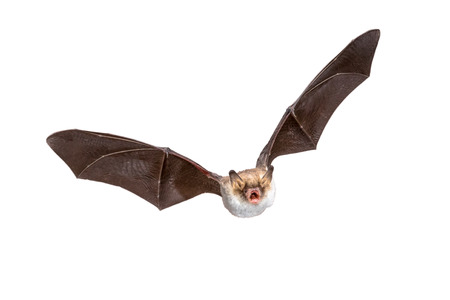 Flying Natterers bat (Myotis nattereri) action shot of hunting animal isolated on white background. This species is medium sized, nocturnal and insectivorous found in Europe and Asia.