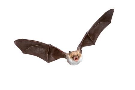 Flying Natterer's bat (Myotis nattereri) disparo de acción de animal de caza aislado sobre fondo blanco. Esta especie es de tamaño mediano, nocturna e insectívora que se encuentra en Europa y Asia. Foto de archivo