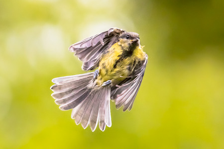 Bird in Flight. Great tit (Parus major) in mid air just before landing with folded wings and feathers on green garden background Imagens